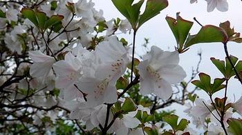 pink-shiroyashio-2.jpg