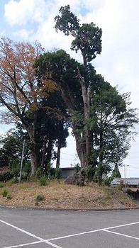kumano-jinja-ohsugi.jpg